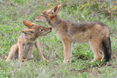 Black-backed Jackal siblings Stock Photography