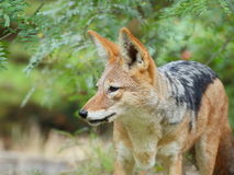 Black-backed jackal side Royalty Free Stock Images