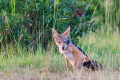 Black-backed Jackal sit scouts Stock Image