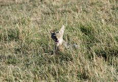 A black backed Jackal sitting in the grassland Stock Images