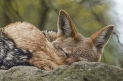 Black-backed jackal sleeping Royalty Free Stock Photo