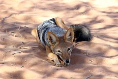 Black-backed jackal sossusvlei Namibia. Black-backed jackal resting in sossusvlei Namibia Africa stock photo