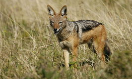 Black backed jackal in South Africa Royalty Free Stock Images