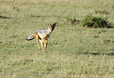 A black backed Jackal sprinting Stock Photos