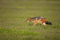 Black-Backed Jackal stalking. A Black-backed Jackal stalking, Addo Elephant National Park Royalty Free Stock Images
