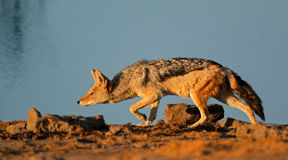 Black-backed Jackal stalking Royalty Free Stock Photos