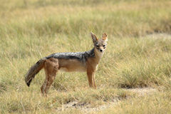A black-backed jackal standing Royalty Free Stock Photos