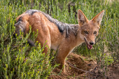Black-backed jackal standing in the grass. Black-backed jackal standing in the grass in the Kgalagadi Transfrontier Park, South Africa stock photography