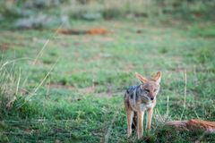 Black-backed jackal standing in the grass stock photography