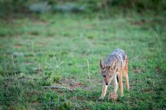Black-backed jackal standing in the grass royalty free stock photo
