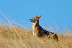 Black backed Jackal stood in dry grassland Royalty Free Stock Photography