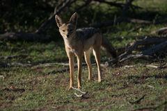 Black backed Jackal at Sunset. Lone black backed jackal at sunset in Africa Stock Photography