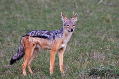 Black-backed Jackal in Tanzania. Black-backed jackal in Grumeti Reserves, Tanzania Royalty Free Stock Photo