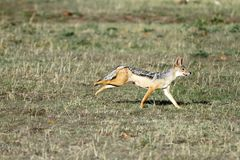 A black backed Jackal in th savannah grassland Royalty Free Stock Photo