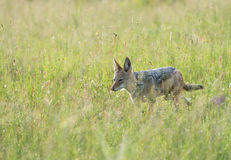 Black-backed jackal in veld Royalty Free Stock Photography