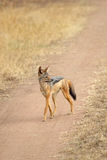 Black-backed jackal walking Stock Photo