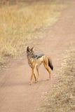 Black-backed jackal walking Stock Photo