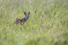 Black backed jackal walking on green grass looking for food Stock Photo