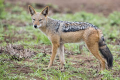 Black backed jackal walking on short grass looking for food Royalty Free Stock Photos