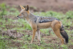 Black backed jackal walking on short grass looking for food Stock Photos