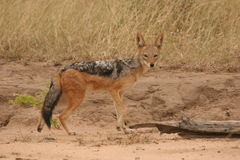 Black backed jackal. The  jackal was in the reserve. It was late afternoon and he was on the lookout for something to eat Royalty Free Stock Photography