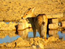 Southern african animals. Black -backed Jackal at a waterhole Royalty Free Stock Image