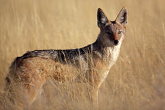 Black-backed jackal in yellow grass, Namibia Royalty Free Stock Image