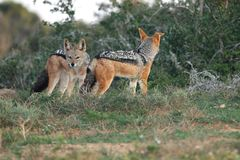 Black Backed Jackals Stock Photography