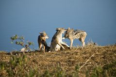 Black-backed jackals Stock Image