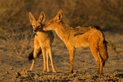 Black-backed Jackals Royalty Free Stock Photo
