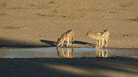 Black-backed jackals drinking stock footage