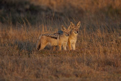Black-backed jackals Stock Photo