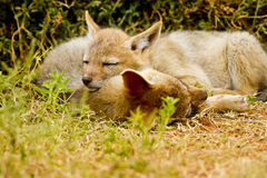 Black backed jackals sleeping Royalty Free Stock Images
