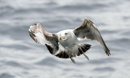 Black Backed Kelp Gull Stock Photography