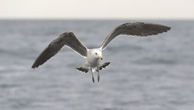 Black Backed Kelp Gull Royalty Free Stock Photography