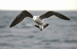 Black Backed Kelp Gull Stock Image