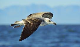 Black Backed Kelp Gull Stock Images
