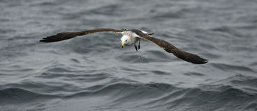 Black Backed Kelp Gull Royalty Free Stock Photography