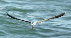 Black Backed Kelp Gull Stock Photos