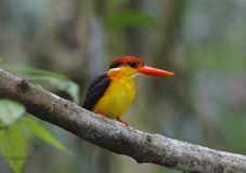 Black-backed Kingfisher Stock Photography