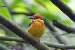 Black-backed Kingfisher Stock Image