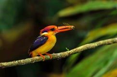 Black- backed Kingfisher Stock Images
