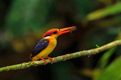 Black- backed Kingfisher Stock Photo