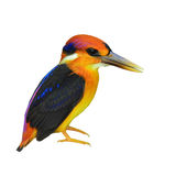 Black-backed Kingfisher bird Royalty Free Stock Images