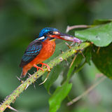 Black-backed Kingfisher bird Stock Photos