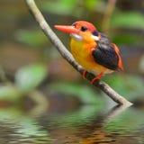 Black-backed Kingfisher bird royalty free stock image