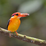 Black-backed Kingfisher bird Stock Image