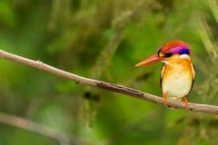 Black-Backed Kingfisher Bird Royalty Free Stock Photo