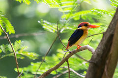 Black-Backed Kingfisher Bird Stock Images