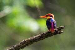 Black-Backed Kingfisher Bird Royalty Free Stock Image